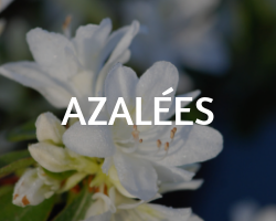 AZALEES roue pepinieres