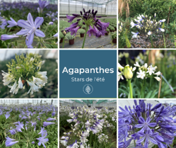Agapanthes roue pepinieres
