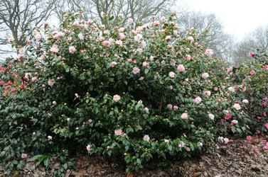 Camellia hybride High Fragrance LM DSC_6323
