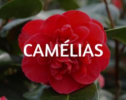 camelia roue pepinieres