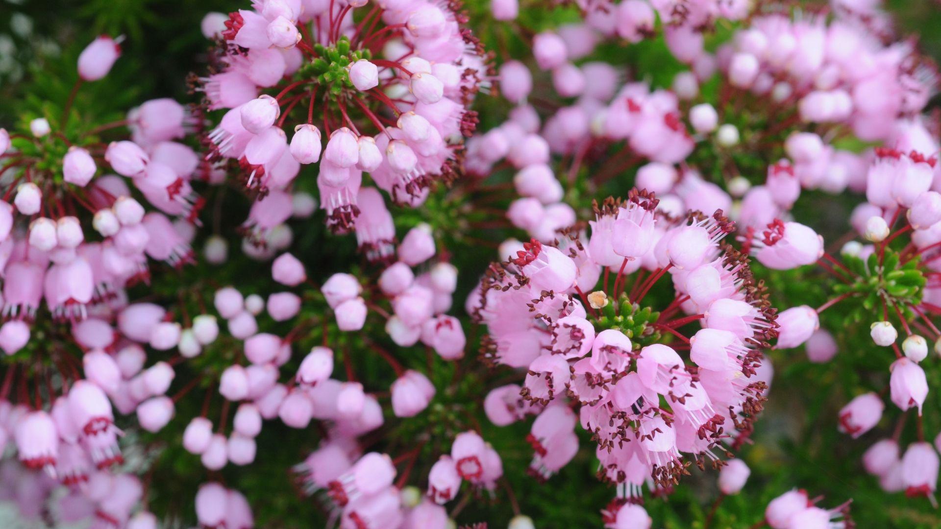 vagans pyrenees pink